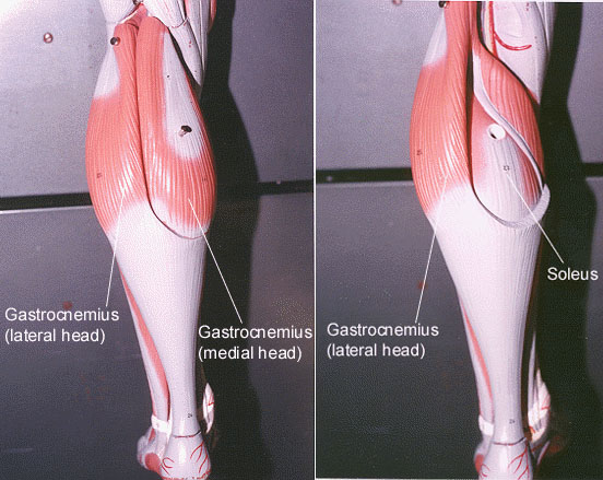 Gastrocnemius and soleus