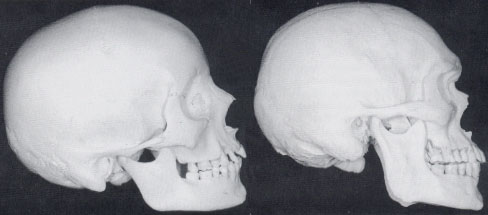 The skulls of a feminine woman (left) and a masculine man (right).