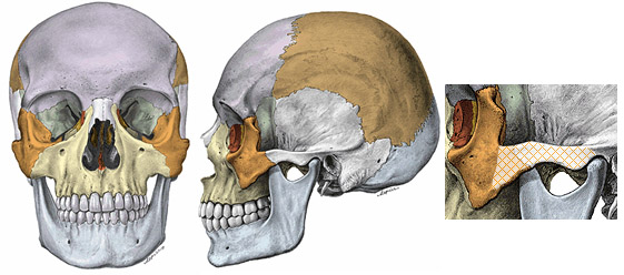 Zygomatic bones, also known as cheekbones (orange) and the zygomatic arch (cross-hatched portion).